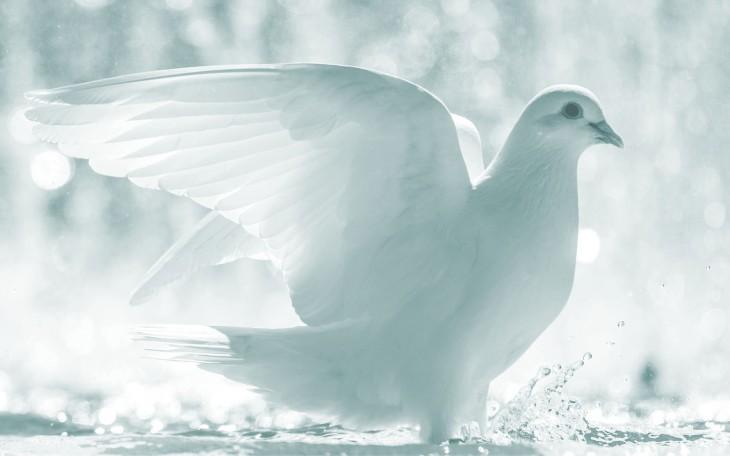 black-and-white-picture-of-a-white-dove2